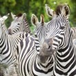 Zebra — Stock Photo #16805287