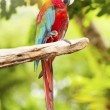 Couple of macaw parrots - Stock Photo