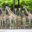 Stock Photo: Group of giraffe