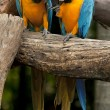 Macaw — Stock Photo #16805985