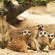 Portrait group of meerkat — Stock Photo #16806099
