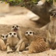 Portrait group of meerkat — Stock Photo #16807643