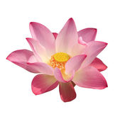 Lotus blume — Stockfoto