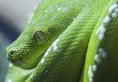 Green python snake — Stock Photo