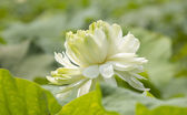 Green lotus — Stock Photo