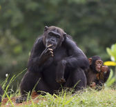 Chimpanze — Foto de Stock