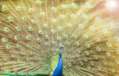 Close up of peacock — Stock Photo