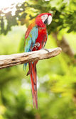 Couple of macaw parrots — Stock Photo