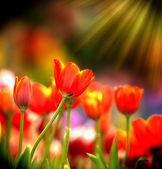 Kolorowe tulipany z rana. — Zdjęcie stockowe
