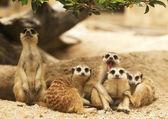 Grupo de retratos de suricata — Foto de Stock