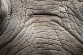 Rhino skin texture. — Stock Photo