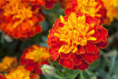 Yellow marigold in garden — Stock Photo