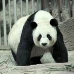 Giant panda — Stock Photo #16820529