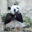 Hungry giant panda  — Stock Photo