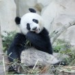 Hungry giant panda — Stock fotografie