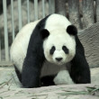 Giant panda — Stock Photo #16820529