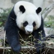 Stock Photo: Hungry giant panda bear