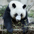 Hungry giant panda bear — Stock Photo