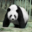 Giant panda — Stock Photo #16820591