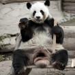 Hungry giant panda — Stock Photo #16820661