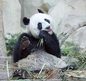Голодный панда — Стоковое фото