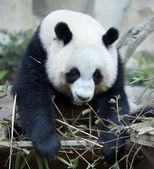 Hungry giant panda bear — Stock Photo