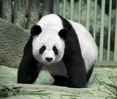 Panda-gigante — Foto Stock