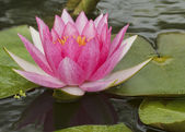 Pink lotus in pool — Foto Stock