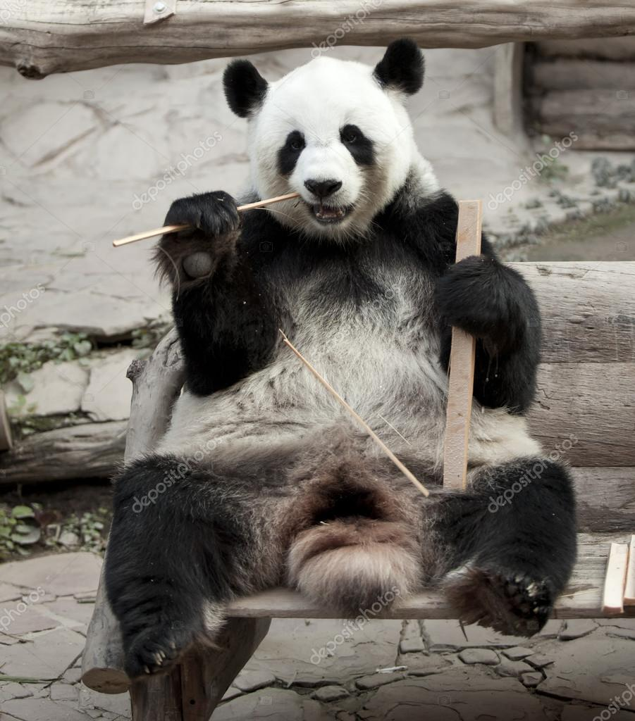 Hungry giant panda bear eating bamboo — Stock Photo #16820661