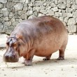 The hippopotamus - Foto Stock