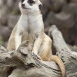 Stock Photo: Portrait of meerkat