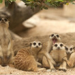 Portrait group of meerkat — Stock Photo #16839895