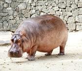 El hipopótamo — Foto de Stock