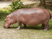 The hippopotamus is semi-aquatic — Stock Photo