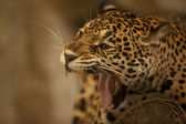 Portrait of Leopard (Tiger) — Stock Photo