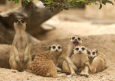 Portrait group of meerkat — Stock Photo