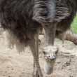 Portrait of Ostrich — Stock Photo #16840131