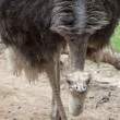 Portrait of Ostrich - Stock Photo