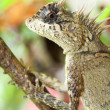 Horn lizard — Stock Photo