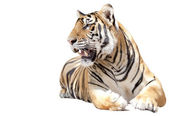 Tiger sit — Stock Photo
