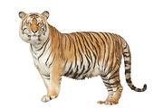 Porträt eines königlichen bengal tigers — Stockfoto
