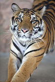 Close up of a young tiger's face — Stock Photo