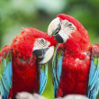 Couple macaws - Foto Stock