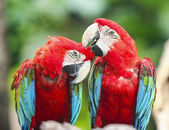 Couple macaws — Foto Stock