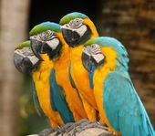 Macaws — Stock Photo