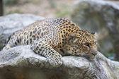 Leopard (Tiger) — Stock Photo