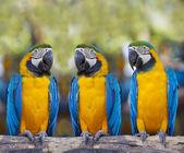 Macaws sitting on log. — Stock Photo