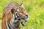 Tygr — Stock fotografie