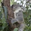 Koala - Stock Photo