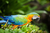 Macaw — Stock Photo